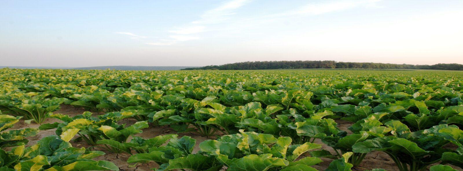 Sugar Beet Field 4799481326
