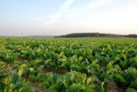 Sugar beet field 4799481326 klein